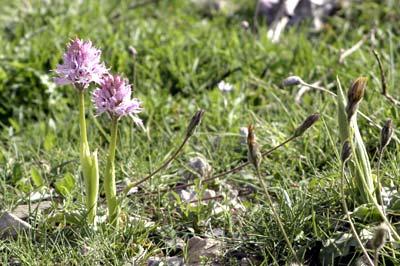 Cretan Orchids