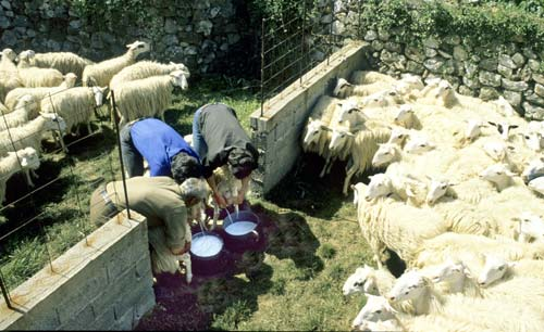 Shepherds milking their sheep