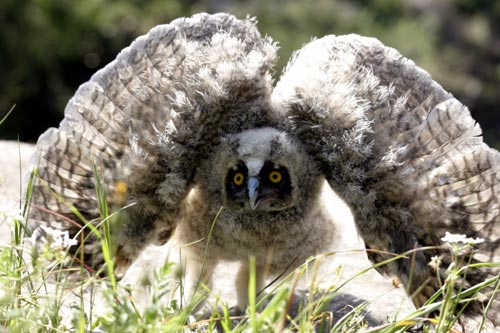 Baby owl in defence mode