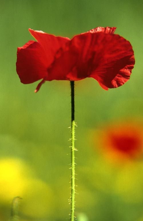 The Magnificent Cretan Poppy