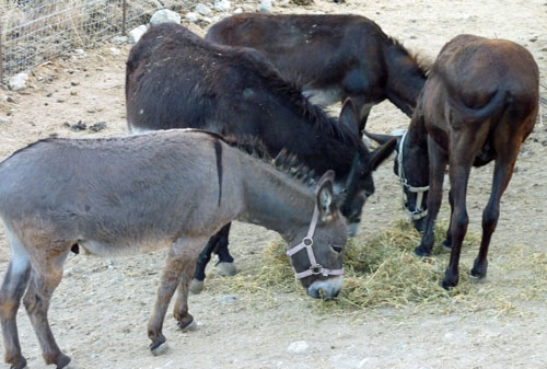 Donkeys feeding